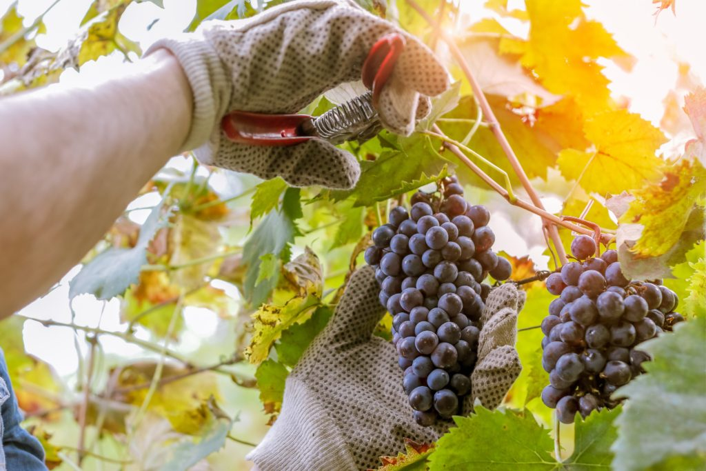 grape clusters being trimmed off a vine