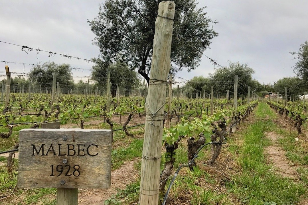 Story of the Vines...image of a 1928 Malbec marker in a vineyard