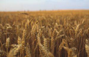 Bourbon Field of Grains