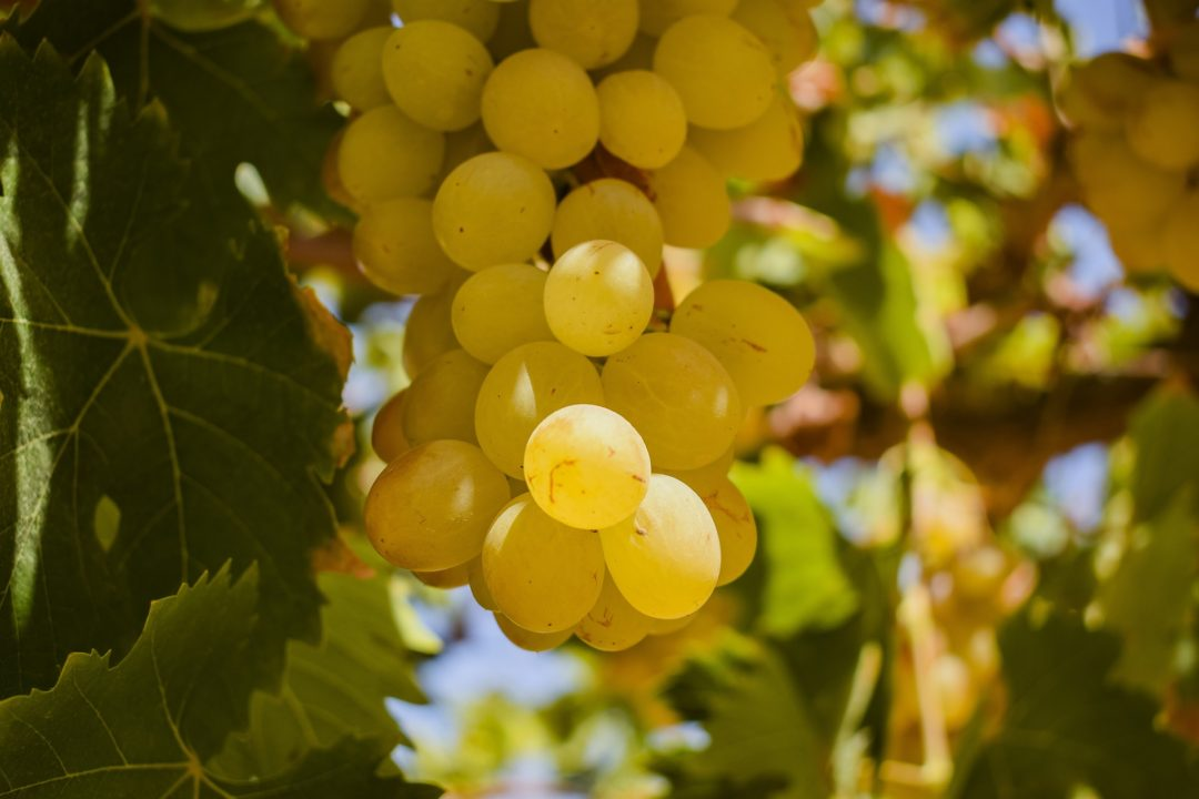 Golden grapes on a vine in Peru
