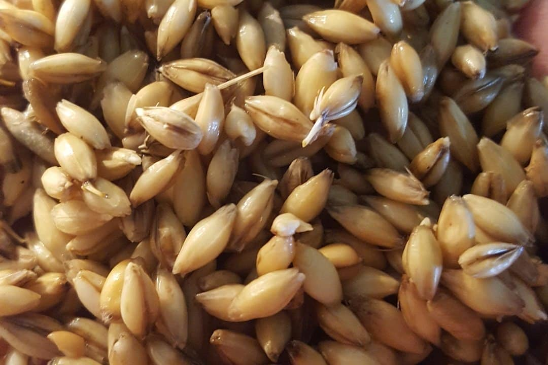 Close-Up of Silver Tree's Malted Wheat