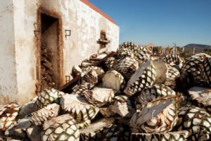 Agave waiting to be roasted