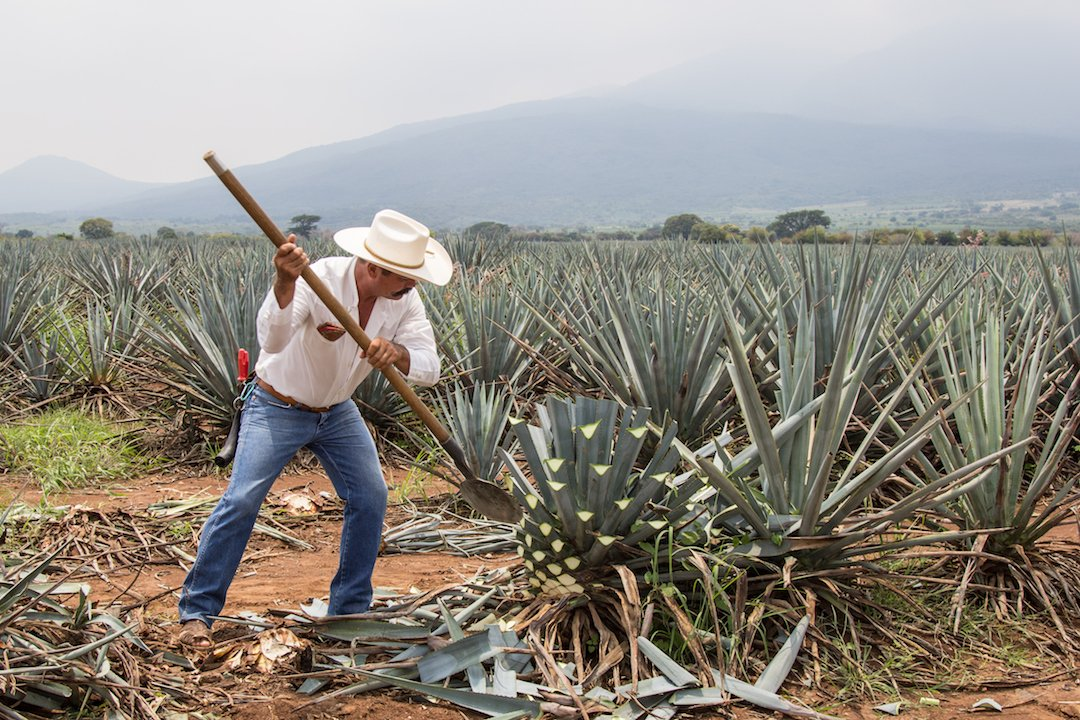 Tequila, Mexico - August 23, 2013: Jimador or Mexican farmer, skilled at harvesting agave for tequila on an gave plantation, Tequila, Jalisco, Mexico. Heavy, manual work, chopping the leaves from the body of the plant.