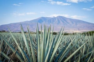 Agave tequila landscape in Guadalajara, Jalisco, Mexico.