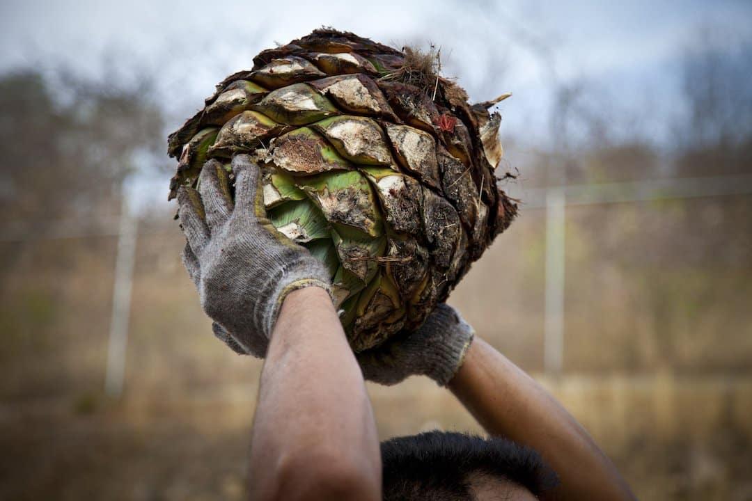 A man holding a agave piña over his head