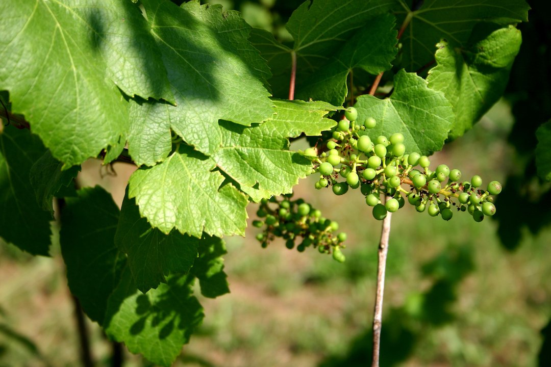 Young grapes just starting to form & grow on the vine