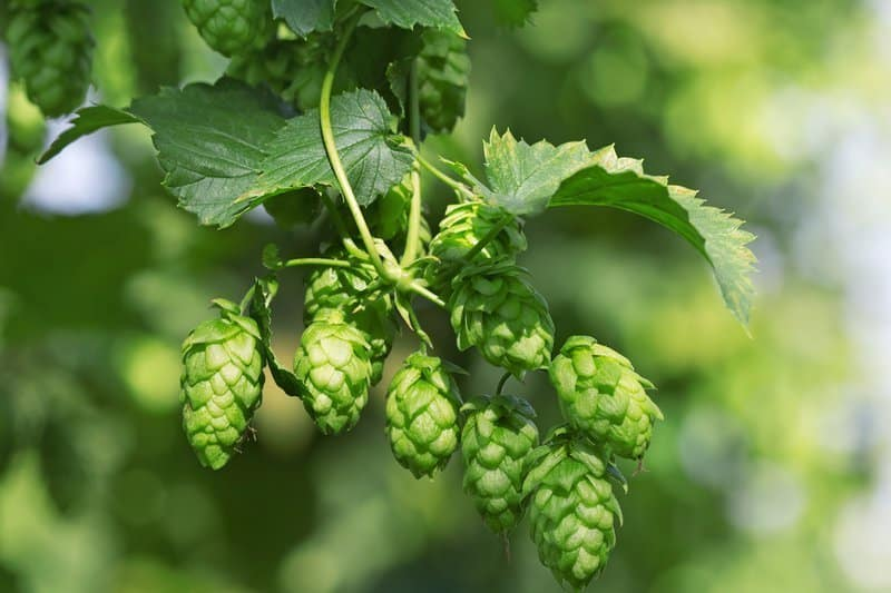 Hops were added to beer by German naturalist and nun St. Hildegard of Bingen
