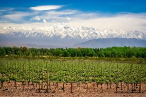 Argentinean wine and vineyard in Mendoza, Argentina