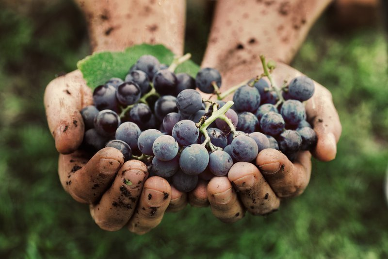 How wine is made - grapes being harvested by hand