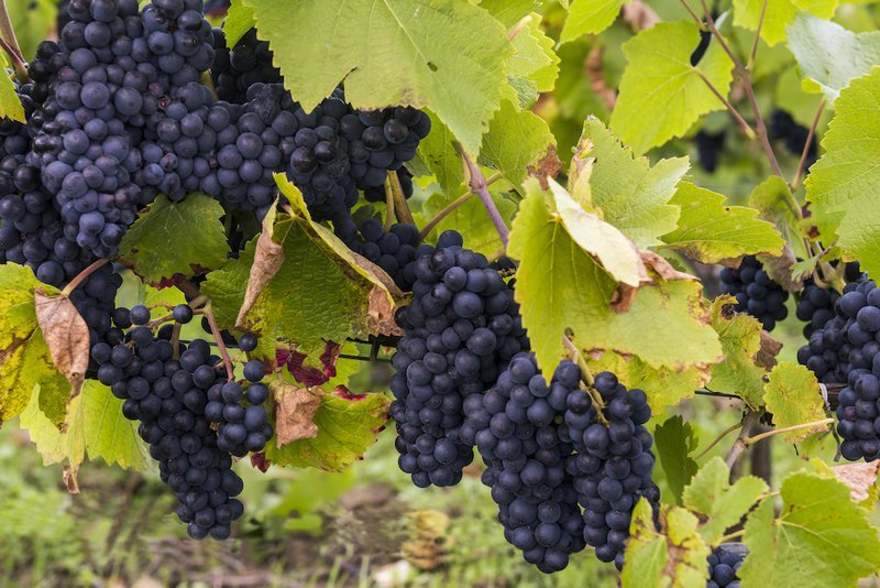 Pinot Noir Grapes in France