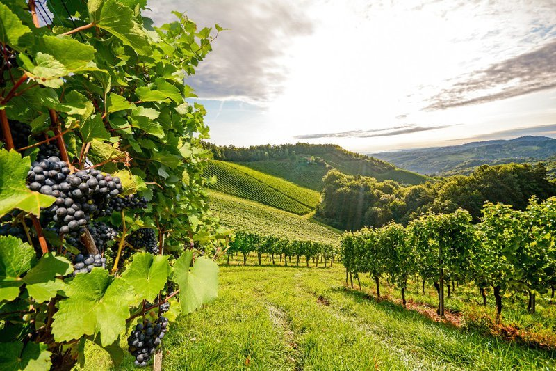 pinot noir vineyard view