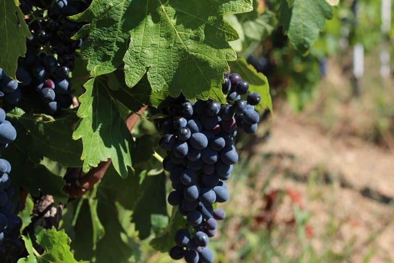 GSM wine grapes Rhone Valley